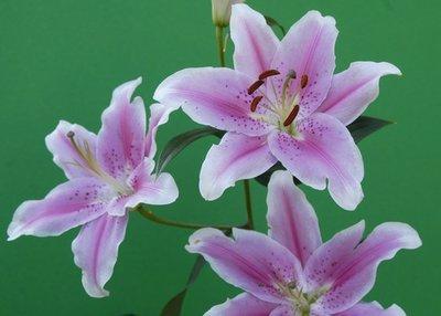 Lilac Lilies