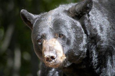Black Bear2