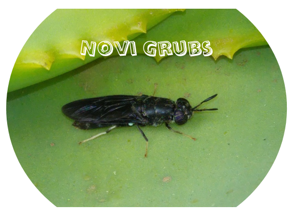 Novi Grubs