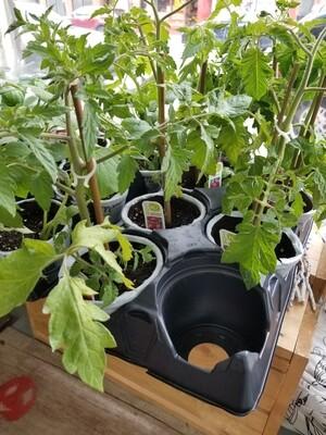 Fines herbes - Plant de Romarin bio