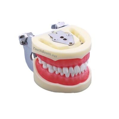 Jaw Model نموذج لشكل الأسنان