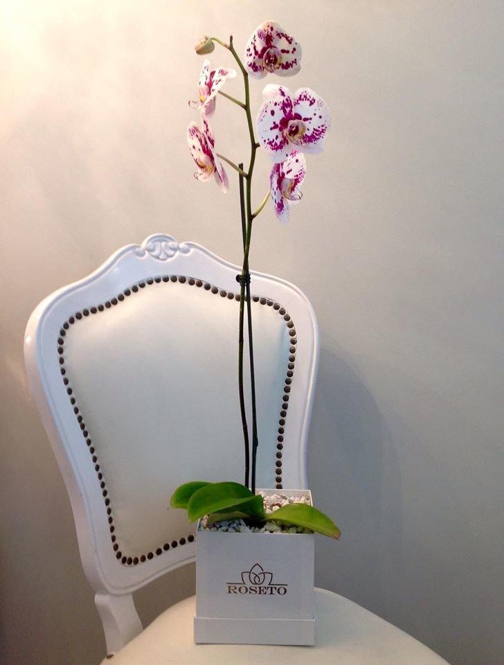 Small square box planta de orquídea