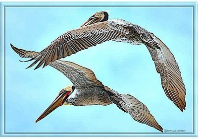 PELICANS FLYING * 7'' x 11''