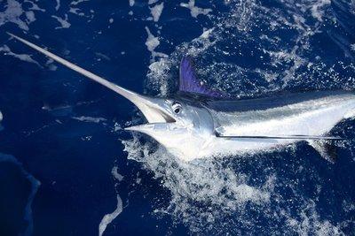 Adopt A Swordfish