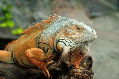 Adopt An Iguana