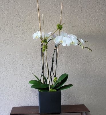 Consolation Orchid