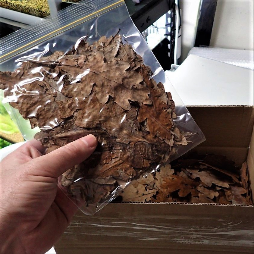 Oak Leaves 10g (Collected Fall 2019)