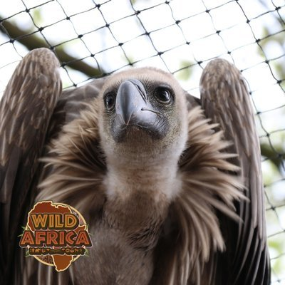 Kevin the VULTURE