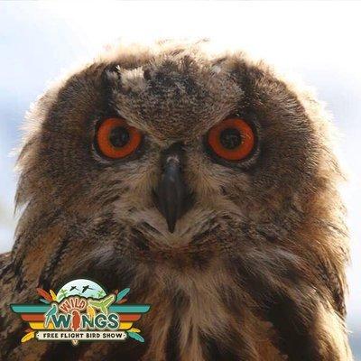 Nigella the EURASIAN EAGLE OWL