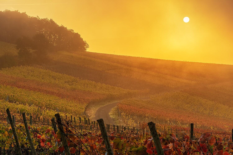Dunstige Sonne im Weinberg - Leinwand