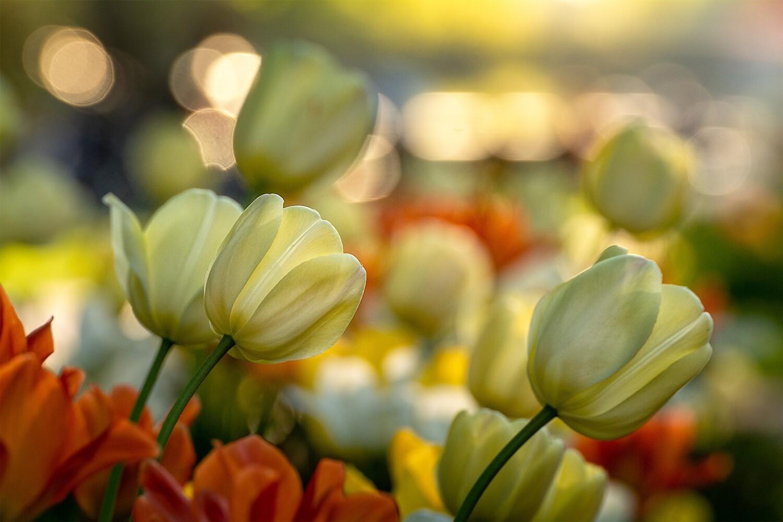 Tulpen Nahaufnahme - Leinwand