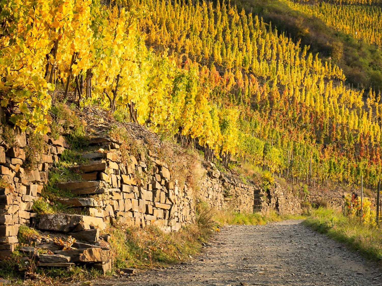 Herbstliche Weinberge in Mayschoß - Leinwand