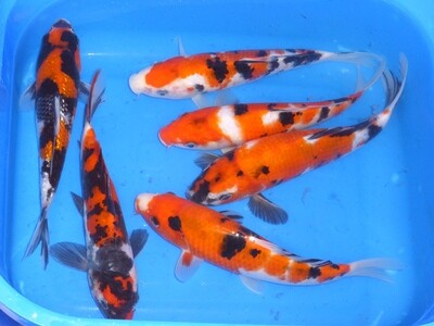Breeder - Yagenji. Sanke & Showa Mix . 20 - 25cm.Reduced - £ 75 Each. Both Showas on Left Sold
