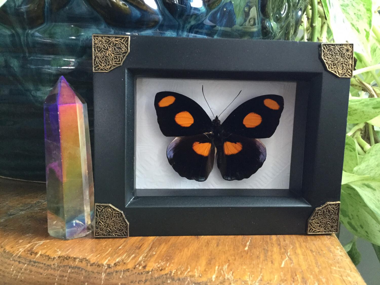 Framed Orange Spot Butterfly
