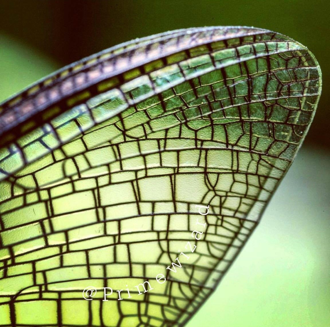 Mayfly Wing Super Macro