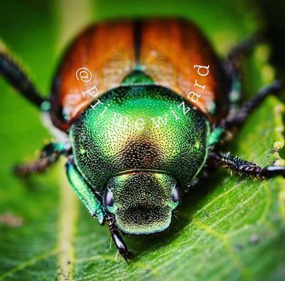 Japenese Beetle