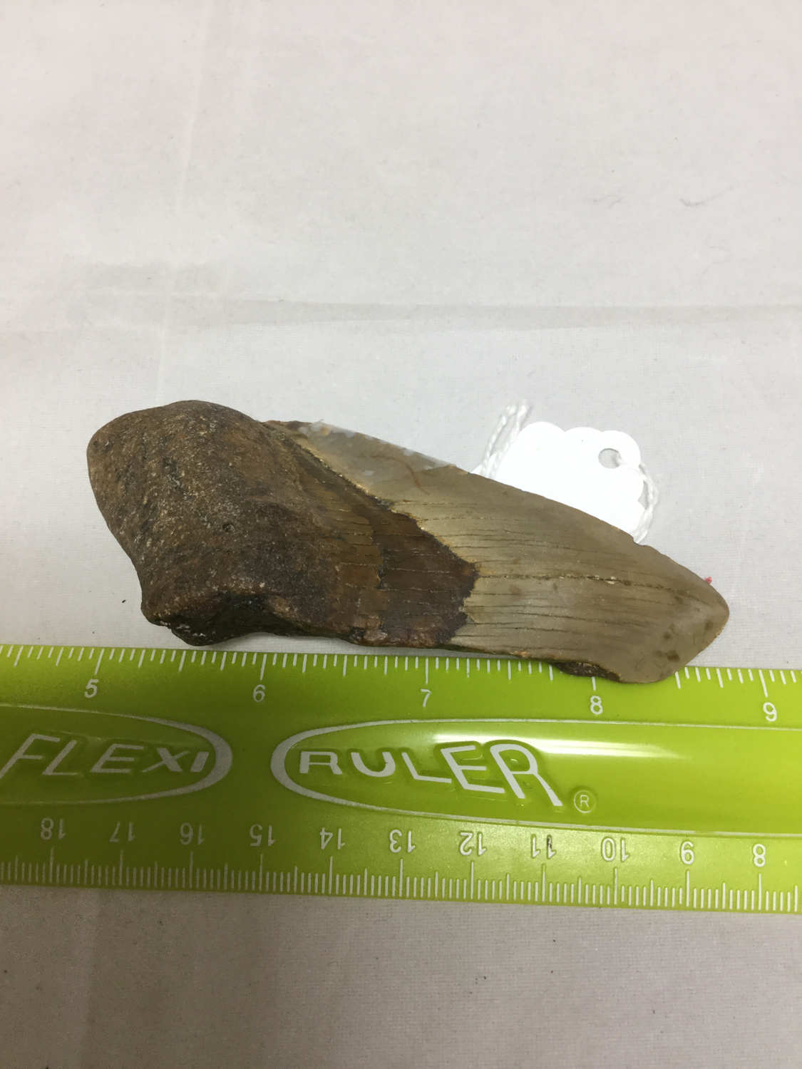Megalodon Tooth Fossil Piece