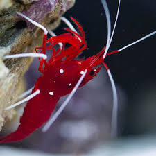 Fire/Blood Shrimp
