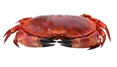 Hel Kokt krabbe (garantert innhold) 1 stk