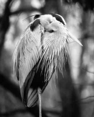 Napping Heron