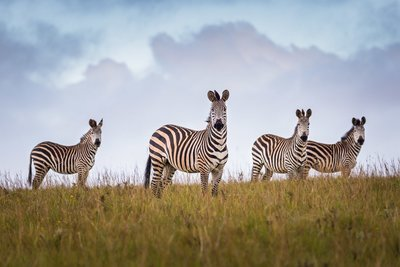 Crawshay Zebras, Malawi