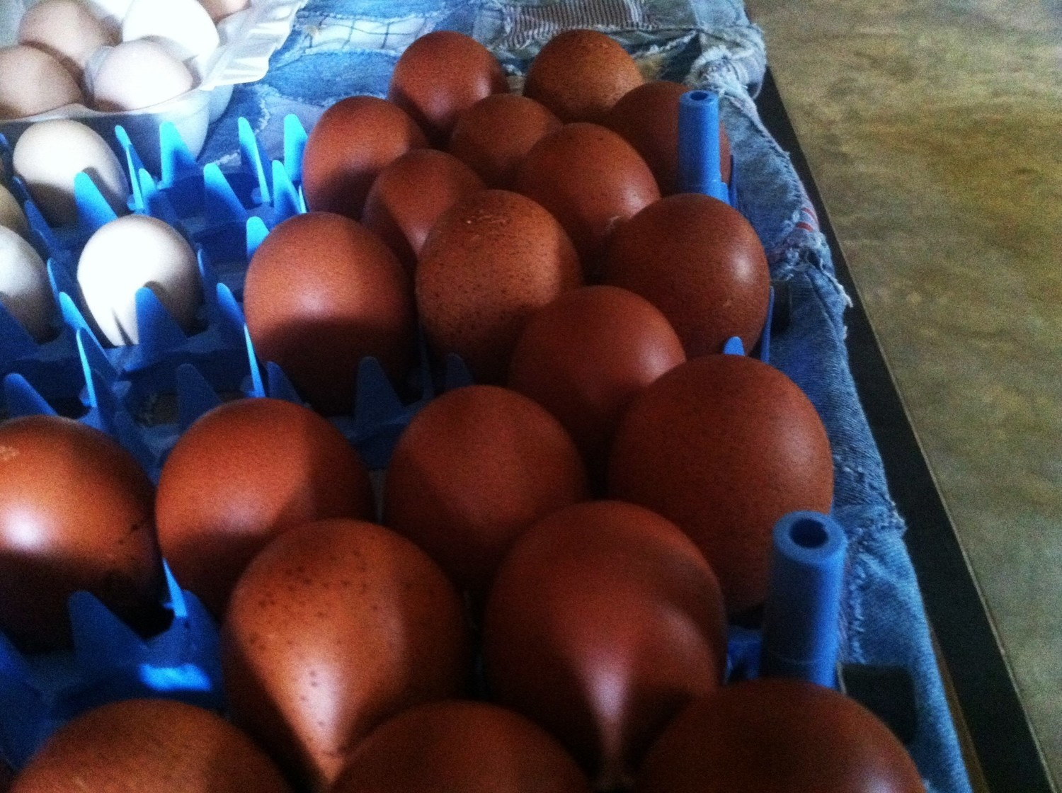 French Blue and Black Copper Marans Hatching Eggs