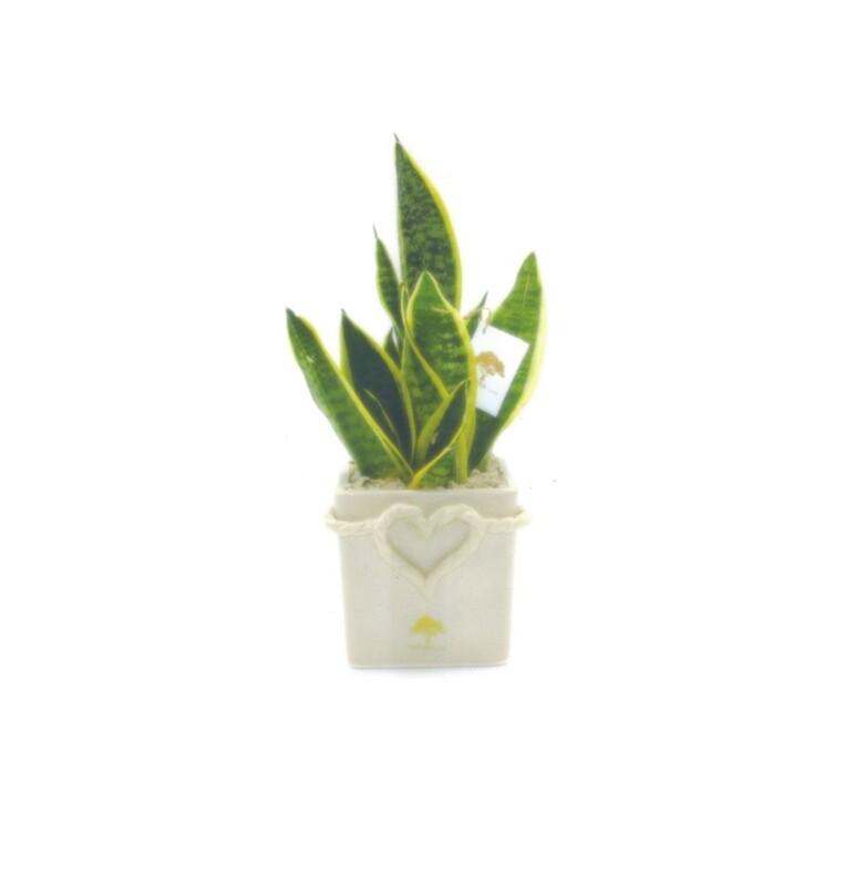 Vaso cubo grande cuore di corda con pianta sansevieria Pz. 1