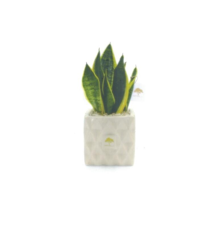 Vaso cubo 12 rombi con pianta sansevieria Pz. 1