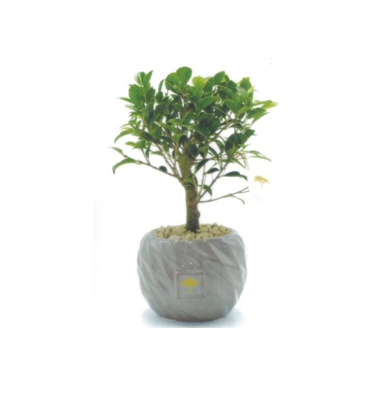 Vaso sfera 12 rombi con pianta ficus  Pz. 1