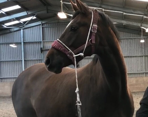 Training halter based on pressure and release  Price includes UK shipping costs. Please contact for international shipping .