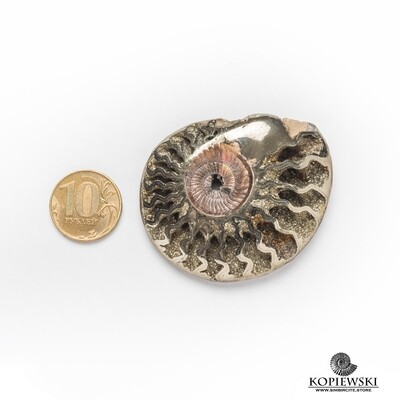 Pyrite (pyritized) Ammonite