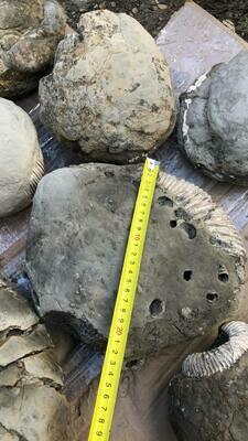 Unprepared Ammonite 130 $