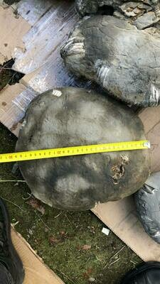Unprepared Ammonite 180 $