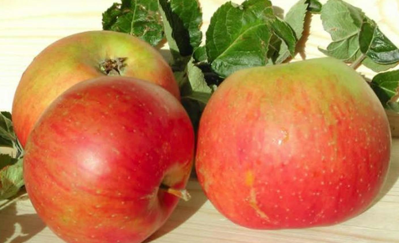 Blenheim Orange - bare rooted 6