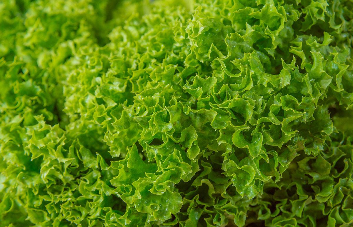 Green Batavia (1 piece) خس بتافيا اخضر