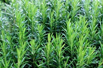 Rosemary (100gm) روزماري