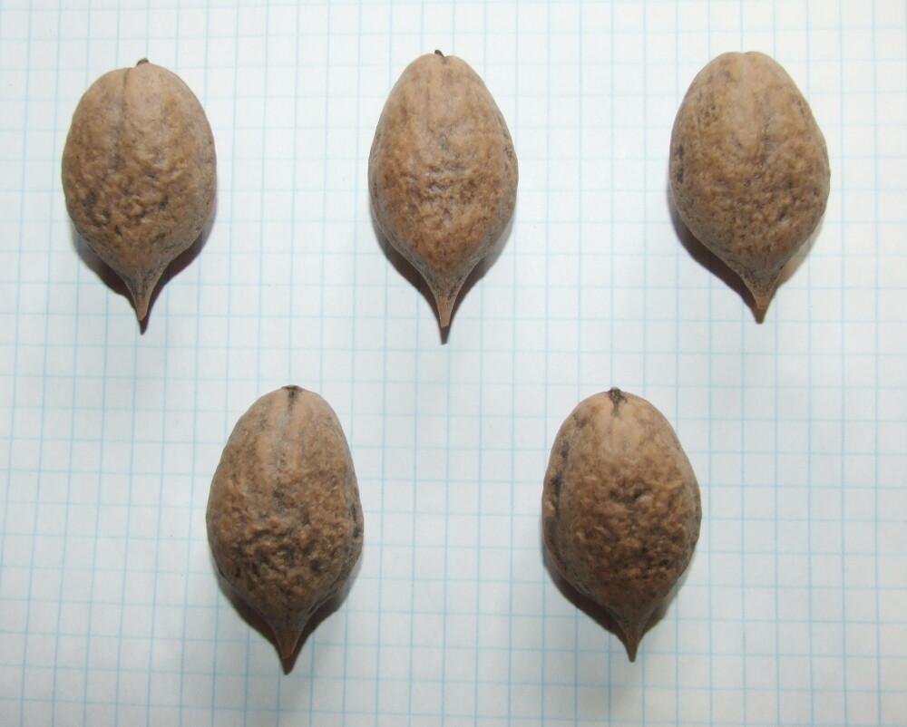 Семена ореха Зибольда