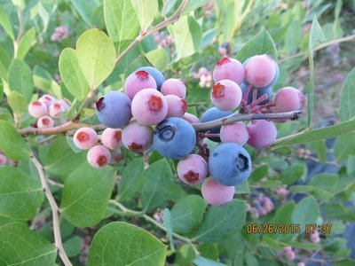 Blueberries - 1 pint box