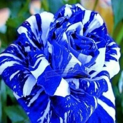 Stripe Rose Blue White Dragon 20 seeds