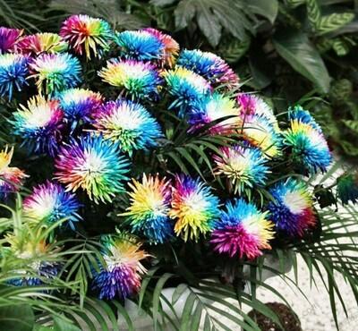 Chrysanthemum Flower Seeds (100 quantity)