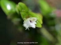 Podochilus muricatus