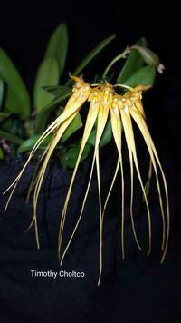 Bulbophyllum tingabarinum [pecten-veneris] 'Christopher' AM/ AOS x self
