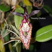 Bulbophyllum lasiochilum