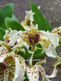 Dendrobium Little Atro