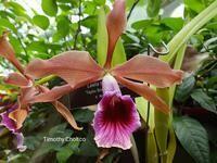 Cattleya tenebrosa 'Taylor's' AM/AOS x 'Rainforest' FCC/AOS [Laelia]