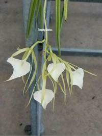 Brassavola Little Stars (nodosa x subulifolia)