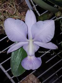 Cattleya walkeriana f. coerulea ['O. E.' x ('Edward' x Manhattan Blue')]
