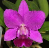 Cattleya Blue Pearl [syn. Lc.]