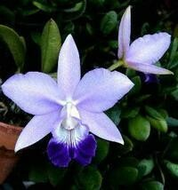 Laeliocattleya Love Knot 'Blue Star [Cattleya]