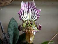 Paphiopedilum fairrieanum  -  coloratum form